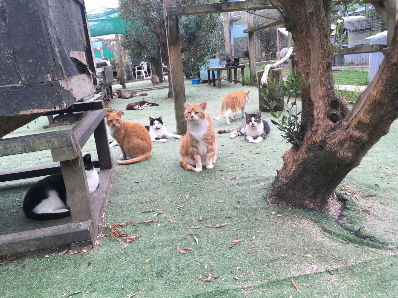 These cats are affectionately known as the Moggie Mafia by the volunteers. They came from Quay Street, downtown Auckland and have banded together in a little gang. They are all quite suspicious of humans, but live together in harmony - keeping an eye on any humans that walk too close!